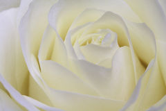 White rose. Beautiful macroshot of a perfect white rose Stock Images