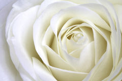 White rose macro landscape Royalty Free Stock Photo