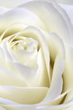 White rose. Beautiful macroshot of a perfect white rose Royalty Free Stock Photography