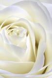 White rose macro portrait Royalty Free Stock Photography