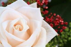 White rose with macro shot Royalty Free Stock Photos