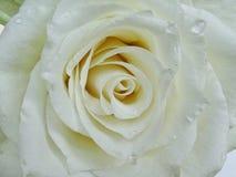 White rose. Macro royalty free stock photos