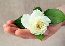 White rose in the man's hand Royalty Free Stock Image