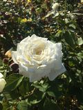 A white rose in the morning light. The warm morning sunshine falls on a big white rose covered in cool morning dew in Australia royalty free stock image