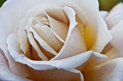 White Rose. On natural background Stock Image