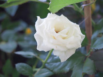 White rose on the nature background Stock Photos
