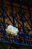 White rose next to window with bars royalty free stock photos