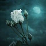 The White Rose Stock Photos
