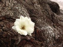 White rose on an old Tree stock photos