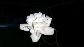 White Rose. Is one of the most popular flowers in the world Royalty Free Stock Photo
