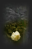A white Rose Royalty Free Stock Photos
