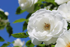 White rose over blue sky Stock Images