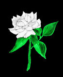 White rose, painting Royalty Free Stock Photography