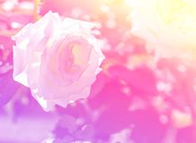 White rose with pastel color. Background royalty free stock photography