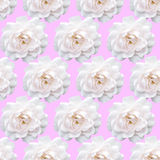White rose pattern. Beautiful flower in garden. Floral backgroun Stock Photo