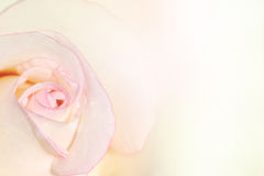 White rose petal edge with pink color for background. Soft focus Stock Photography