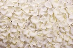 White Rose Petals Stock Images