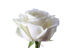 White rose petals. A White rose on a white background Stock Images