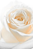 White rose petals. A close-up of white rose petals stock photography