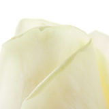 White rose petals. Macro view of white rose petals isolated on studio background royalty free stock photos