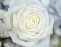 White rose petals close up Stock Photos