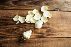 White rose and petals royalty free stock photos