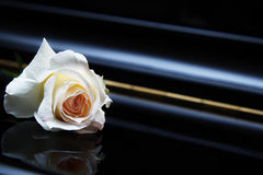 White rose on the piano. White rose on the black closed piano stock images