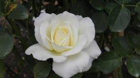 White rose. In pinehurst north carolina stock photography