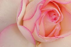 White Rose with Pink Borders. Beautiful close up picture of a white rose with pink borders Stock Image