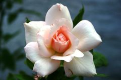 White Rose with Pink Center. Single white rose with a pinkish center Royalty Free Stock Images