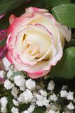 White rose with pink edges with baby's breath flowers. Royalty Free Stock Photos