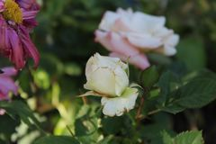 White rose pink hues up close b royalty free stock image