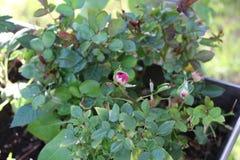 White rose pink hues up close f royalty free stock photos