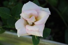 White rose pink hues up close. Pure flower picture royalty free stock photo