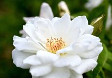 White Rose plant stock image