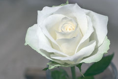 White rose. Pure white rose against a dark gray background Royalty Free Stock Photos