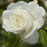 White rose with raindrops Stock Image