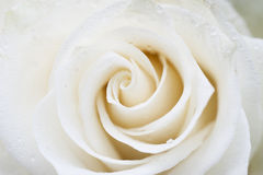 White rose with raindrops Stock Photos