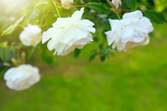 White rose with rays of light. Royalty Free Stock Photo