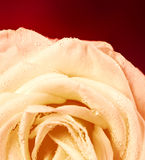 White rose on red background Royalty Free Stock Photos