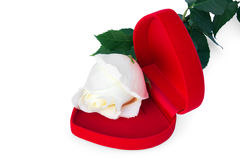 White rose in the red box in a heart shape Stock Image