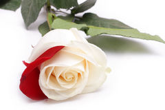 White rose with red petal. On white royalty free stock photos