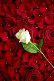 White Rose on Red Petals. White Rose on Red Rose Petals. Valentine's Day Theme. Roses Background. Flowers Photo Collection stock image