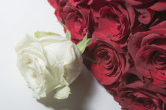 White rose and red roses Stock Photos