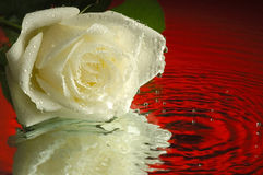 White rose reflection. A perfect white rose reflected on a mirror with a red background Stock Photography