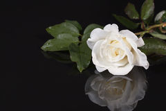 White Rose with Reflection. A white rose with leafy stem on black reflective surface Royalty Free Stock Image