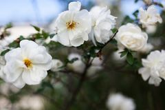 White rose rosa spinosissima Stock Image