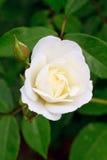 White rose rosebud. Beautiful white rose with rosebud Stock Photography