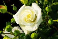 White rose on a rosebush Stock Images