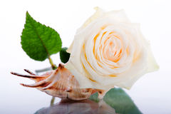 White rose and seashell. On a white background Royalty Free Stock Photo
